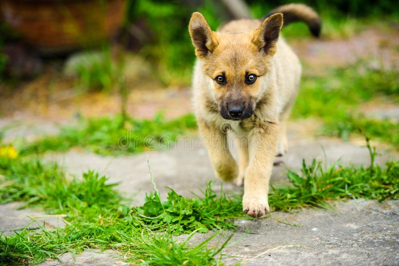 poco cucciolo sta eseguendo felicemente con la depressione floscia delle orecchie un giardino con erba verde immagine stock libera da diritti
