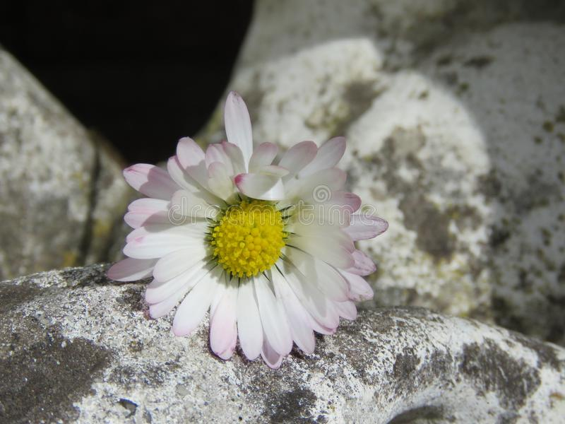 Poco daisie en una roca fotografía de archivo