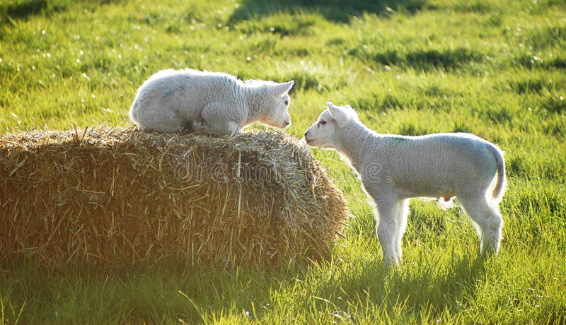 Poco dos ovejas foto de archivo