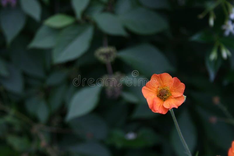 Poco fiore arancione fotografia stock