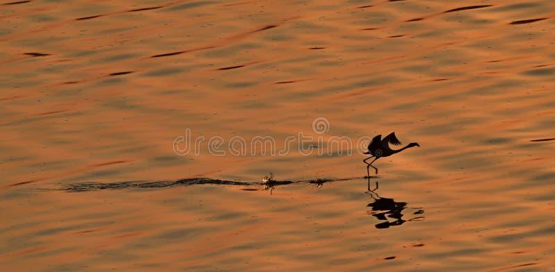 Poco flamenco Nombre científico: Menor de Phoenicoparrus Flamenco corriente en el agua roja del lago Natron en la puesta del sol  imagen de archivo libre de regalías
