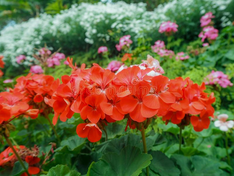 Poco flor del ed foto de archivo