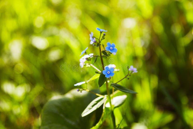 Poco flores azules de la nomeolvides en prado de la primavera en los sunlights fotografía de archivo