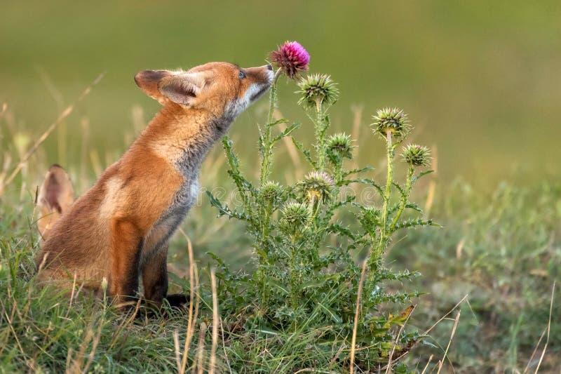 Poco Fox rojo cerca de su agujero huele una flor roja fotografía de archivo