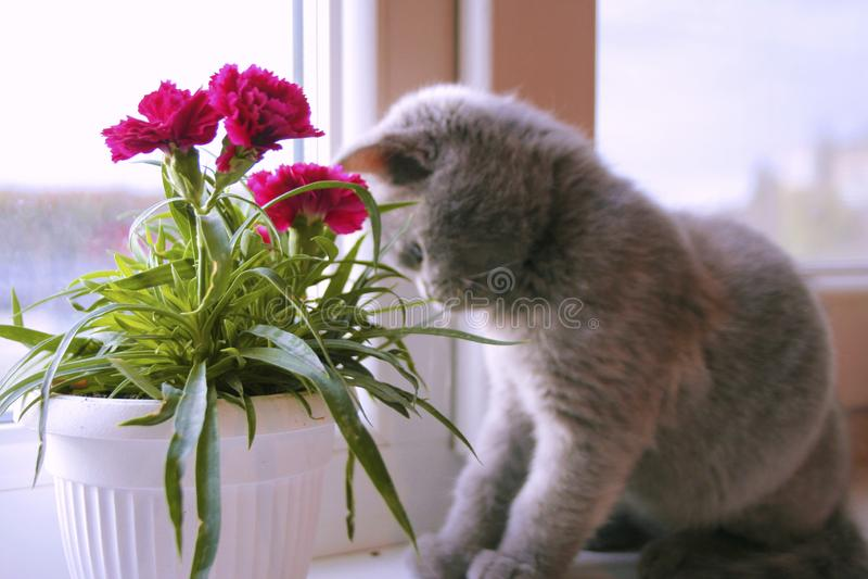 Poco gatito gris admira la flor imagen de archivo