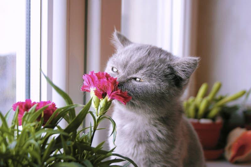 Poco gatito gris admira la flor fotografía de archivo