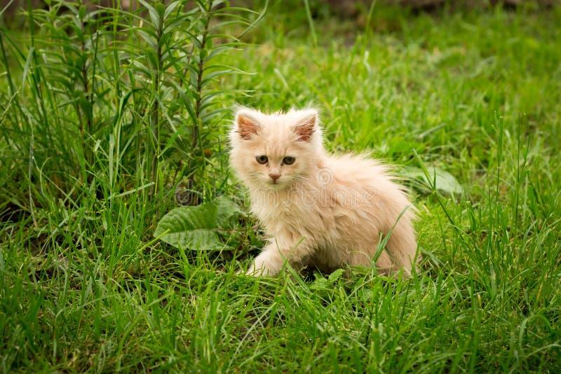 Poco gattino è giocare all'aperto sull'erba nel giardino, cercante una caccia, fine su, natura su fondo fotografie stock libere da diritti
