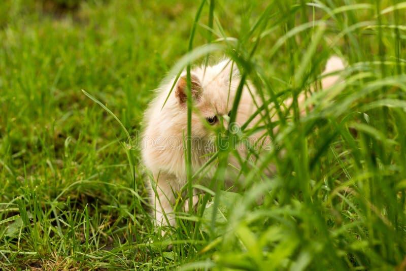 Poco gattino è giocare all'aperto sull'erba nel giardino, cercante una caccia, fine su, natura su fondo fotografia stock libera da diritti