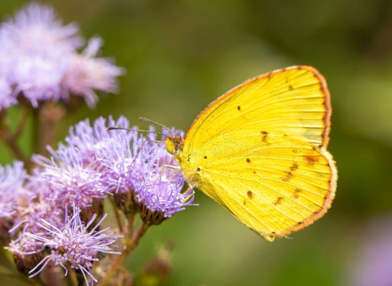 Poco giallo, Eurema Lisa, farfalla che si alimenta i fiori porpora del Ironweed fotografie stock