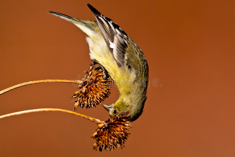 Poco Goldfinch imagenes de archivo