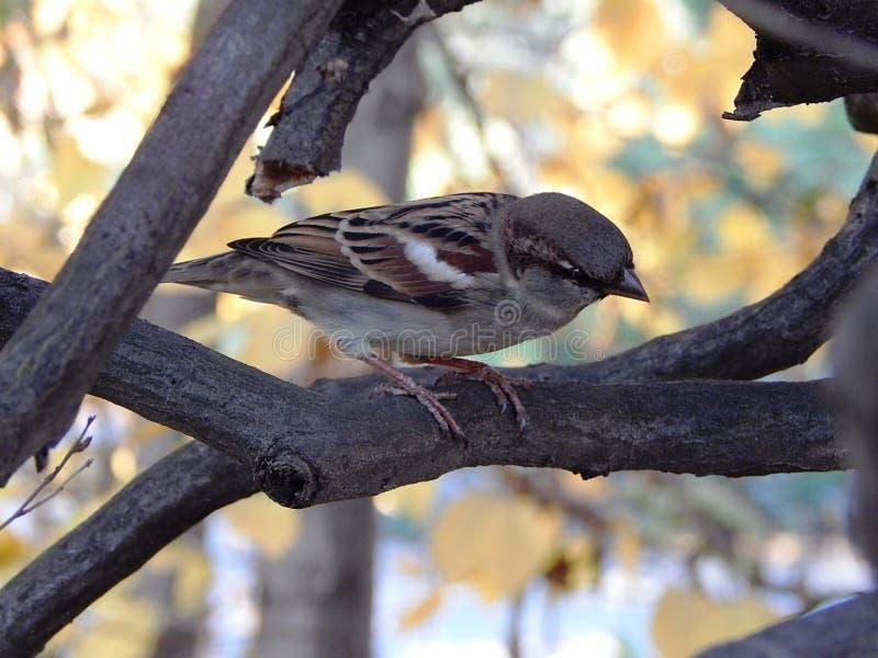 Poco gorrión del pájaro que se sienta en una rama de árbol fotos de archivo