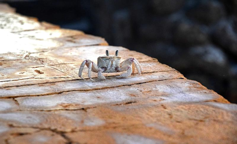 Poco granchio della sabbia sulla spiaggia, sulla parete, Ocypode compensa la deriva la famiglia fotografie stock