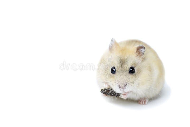 Poco hámster mullido que come una semilla, aislada en el fondo blanco fotografía de archivo libre de regalías