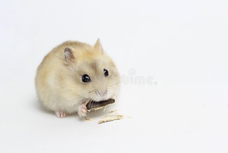 Poco hámster mullido que come una semilla, aislada en el fondo blanco fotografía de archivo