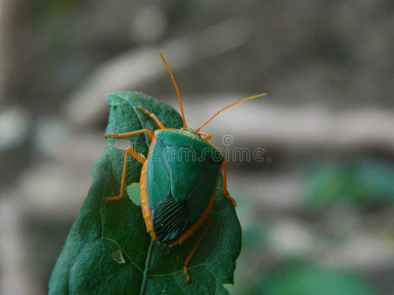 Poco insetto che appende intorno fotografia stock
