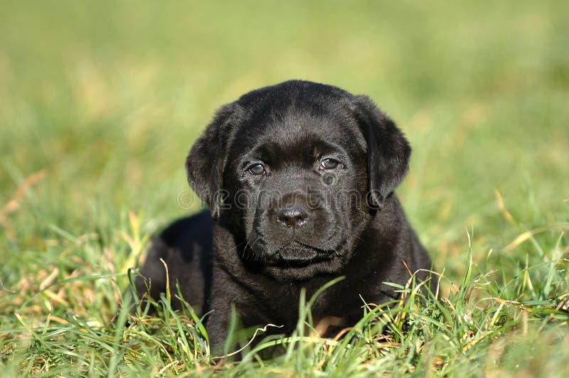 Download Poco Labrador foto de archivo. Imagen de canino, animales - 1294554
