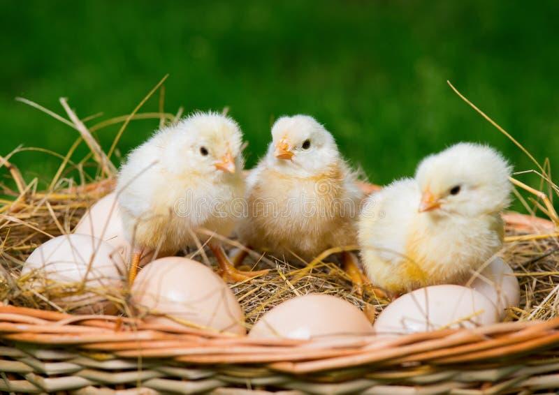 Poco los pollos se está sentando en los huevos imagen de archivo libre de regalías