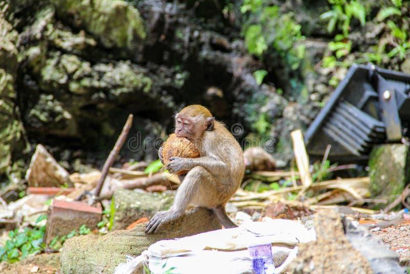 Poco mono que come el coco en el templo hindú, la India fotografía de archivo libre de regalías