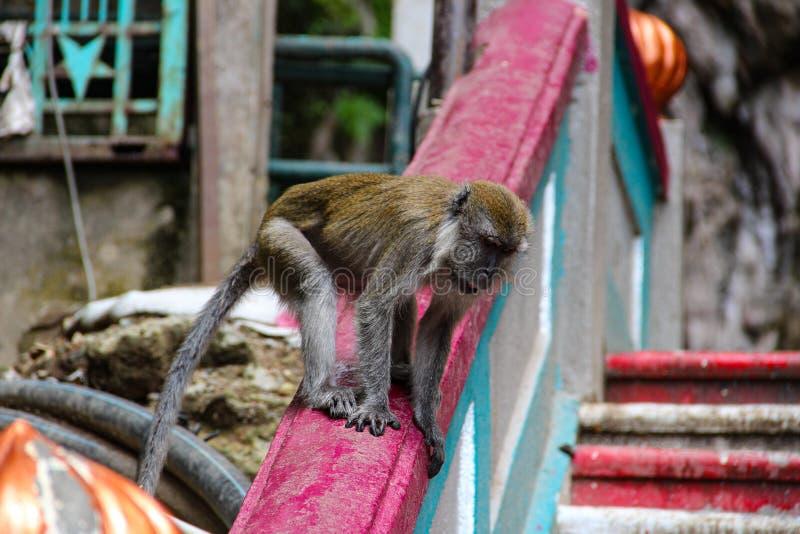 Poco mono que come el coco en el templo hindú, la India fotos de archivo libres de regalías