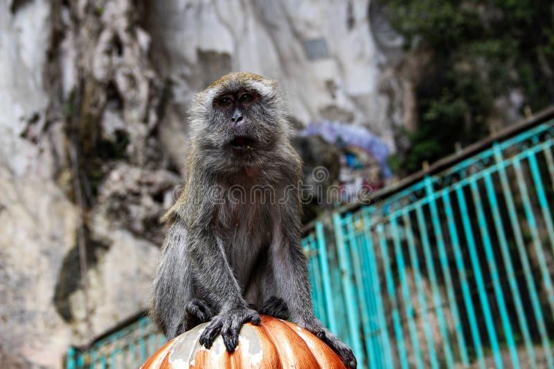 Poco mono que come el coco en el templo hindú, la India fotografía de archivo