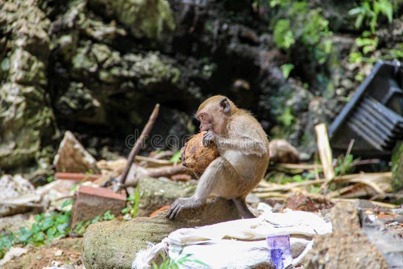 Poco mono que come el coco en el templo hindú, la India fotos de archivo