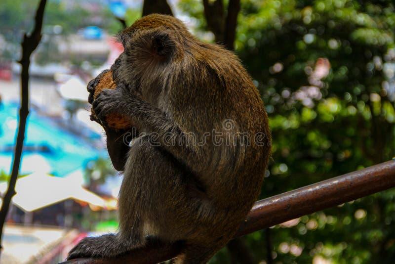 Poco mono que come el coco en el templo hindú, la India foto de archivo