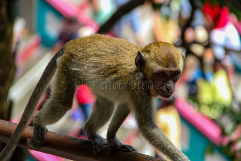 Poco mono que come el coco en el templo hindú, la India imagenes de archivo