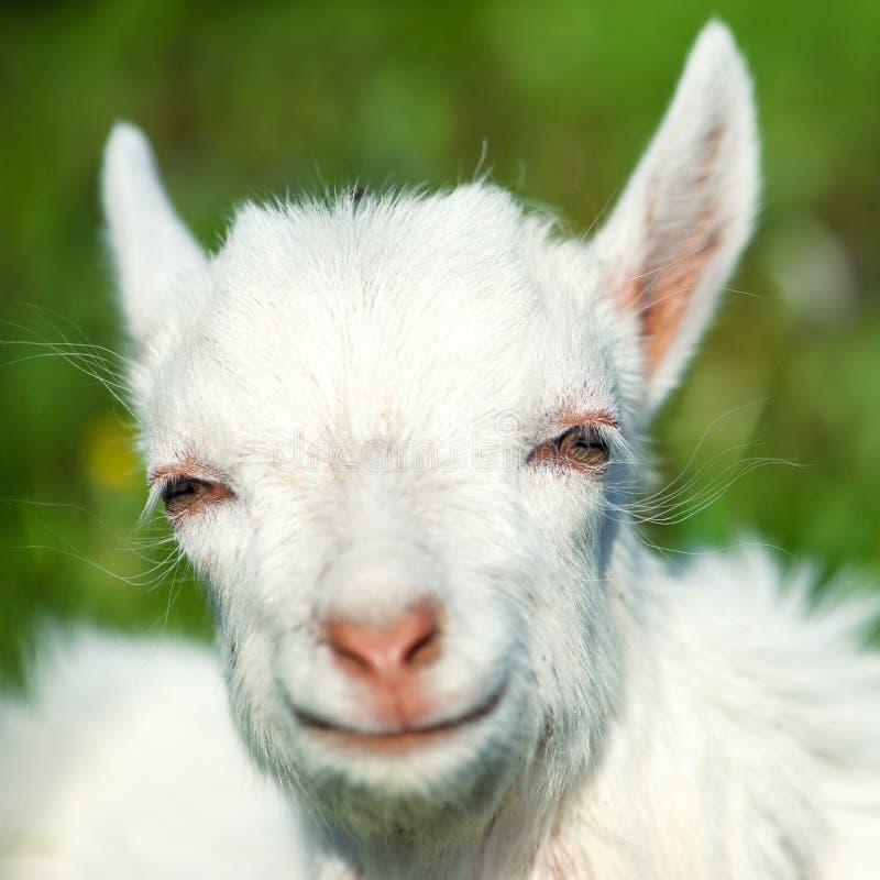 Poco niño blanco de la cabra fotos de archivo
