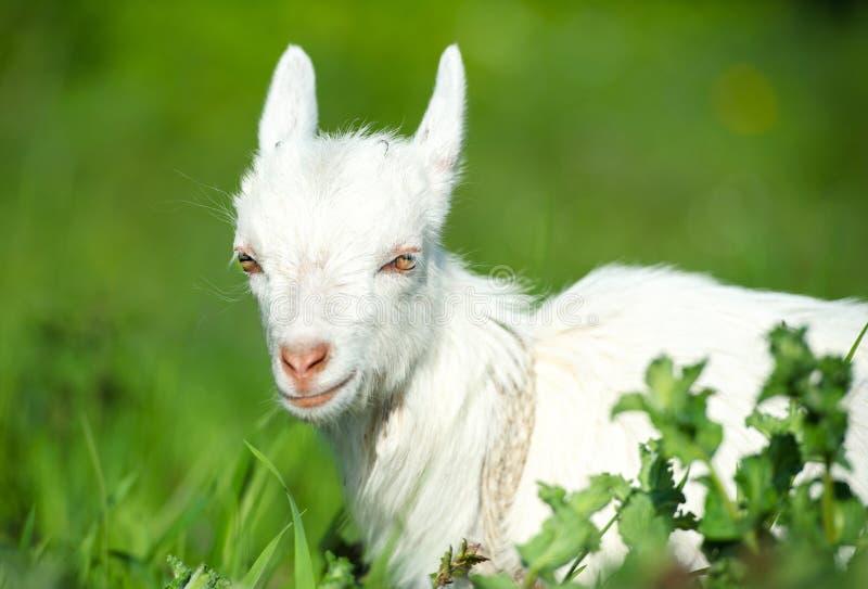 Poco niño blanco de la cabra fotografía de archivo libre de regalías