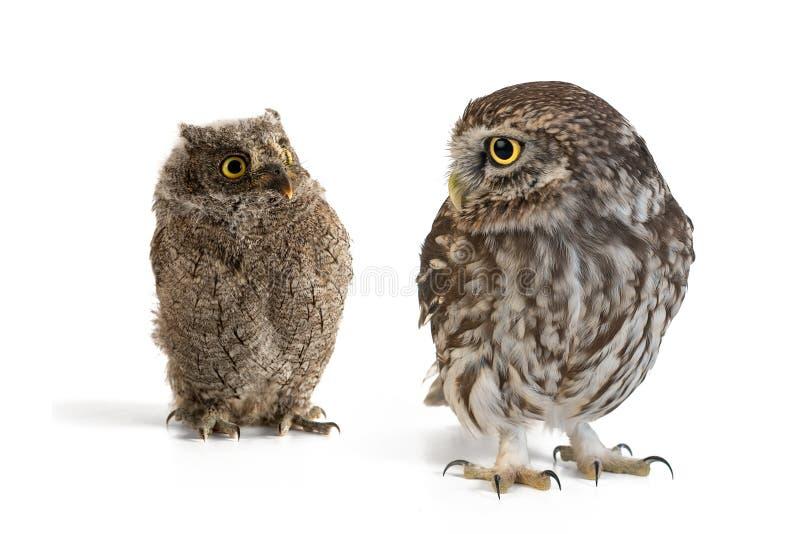 Poco noctua de Owl Athene y scops europeos del Otus del búho de scops que se colocan en un fondo blanco fotografía de archivo libre de regalías