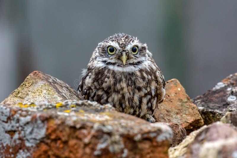 Poco noctua di Owl Athene in habitat completamente naturale fotografie stock libere da diritti