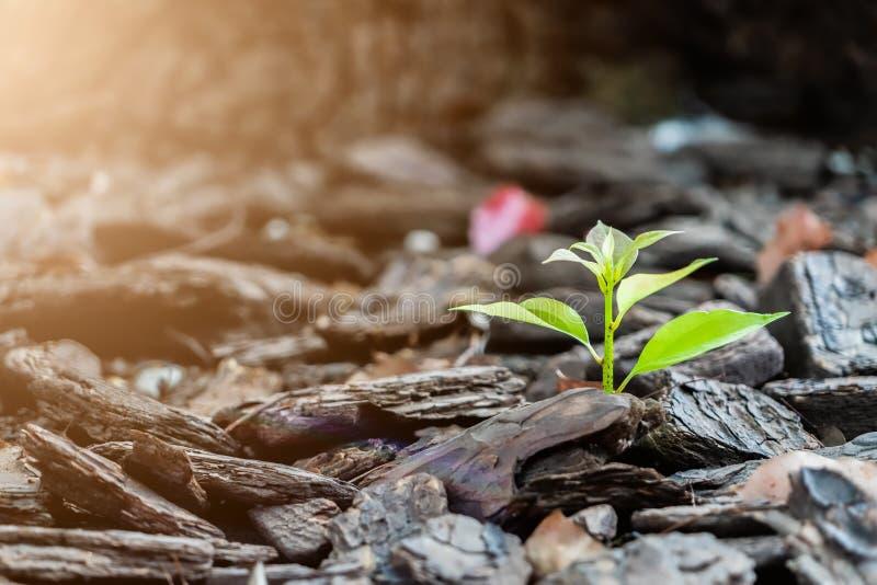 Poco nuovo albero di vita si sviluppa sul forte e dello sviluppo concetto della roccia, fotografie stock libere da diritti