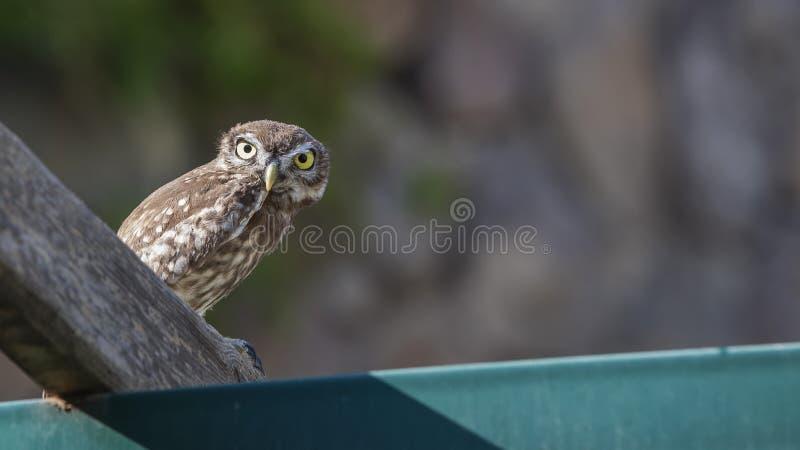Poco Owl Looking en la cámara sorprendente fotografía de archivo libre de regalías