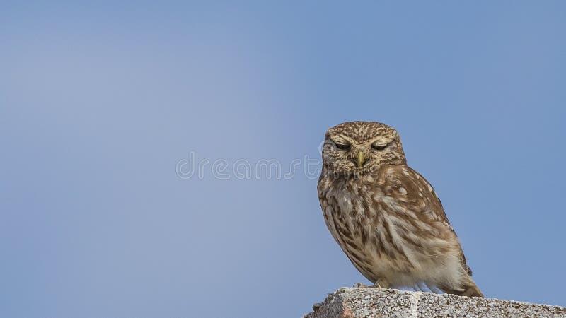 Poco Owl Sleeping en el tejado concreto imagen de archivo