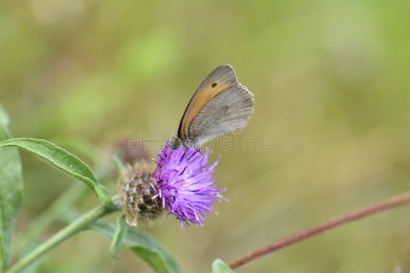 Poco pájaro del prado - pamphilus de Coenonympha de la Heno-fiebre en el flor púrpura imágenes de archivo libres de regalías