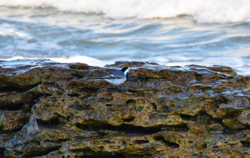 Poco pájaro en una piedra por el mar fotos de archivo