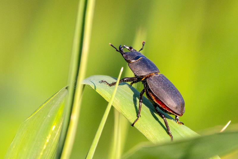 Poco parallelipipedus de Dorcus del escarabajo de macho foto de archivo libre de regalías