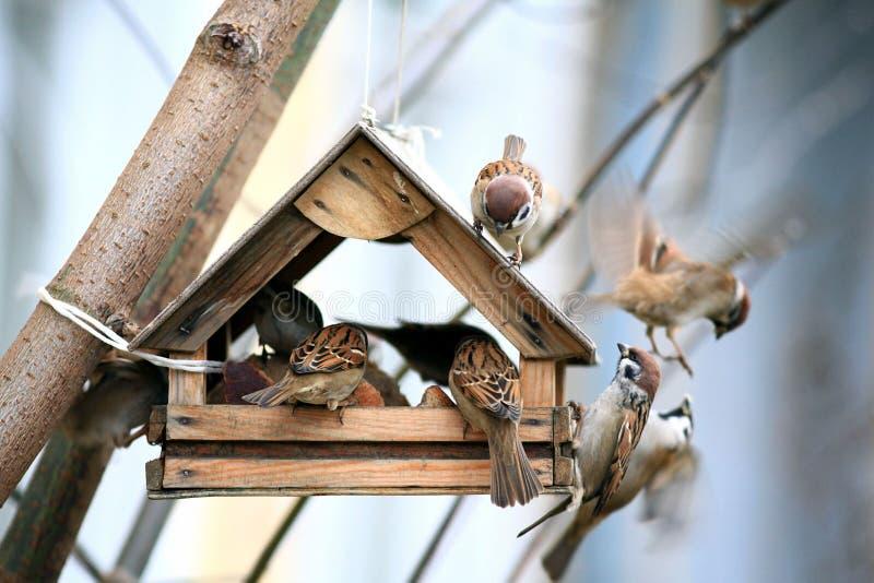 Poco passero negli alimentatori dell'uccello fotografia stock