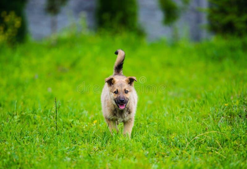 poco perrito está corriendo feliz con el canal flojo de los oídos un jardín con la hierba verde fotografía de archivo libre de regalías