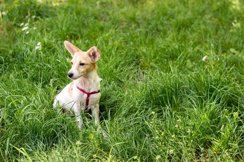 Poco perro blanco lindo que se sienta en la hierba fotos de archivo