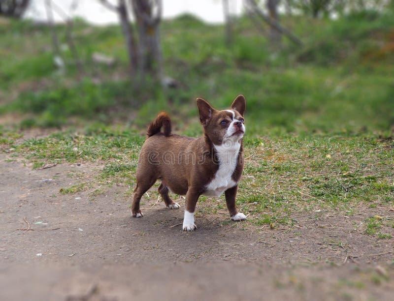 Poco perro de la chihuahua en el parque foto de archivo