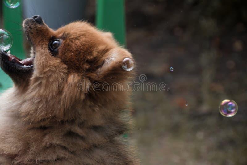 Poco perro de Pomerania en la ducha Big Bear imagenes de archivo