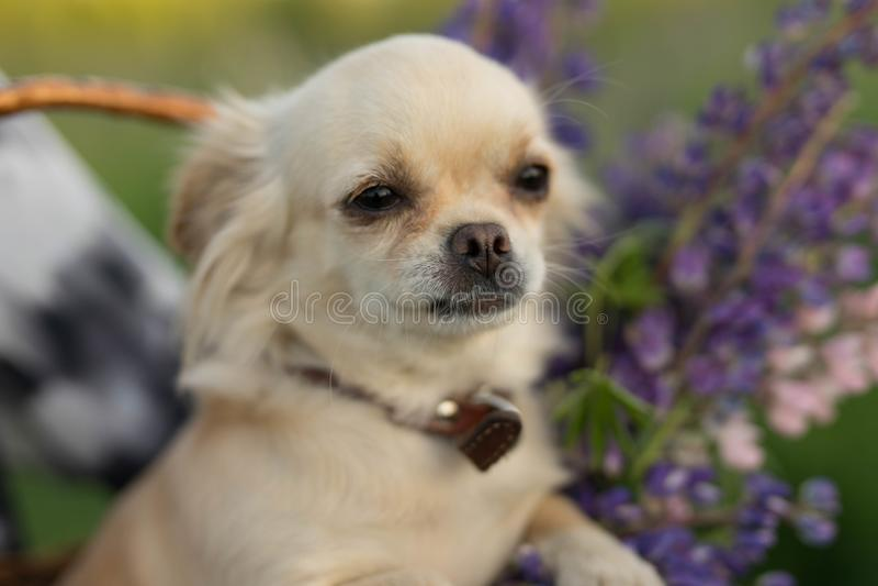Poco perro en un cuello que se sienta en una cesta de mimbre con las flores imágenes de archivo libres de regalías