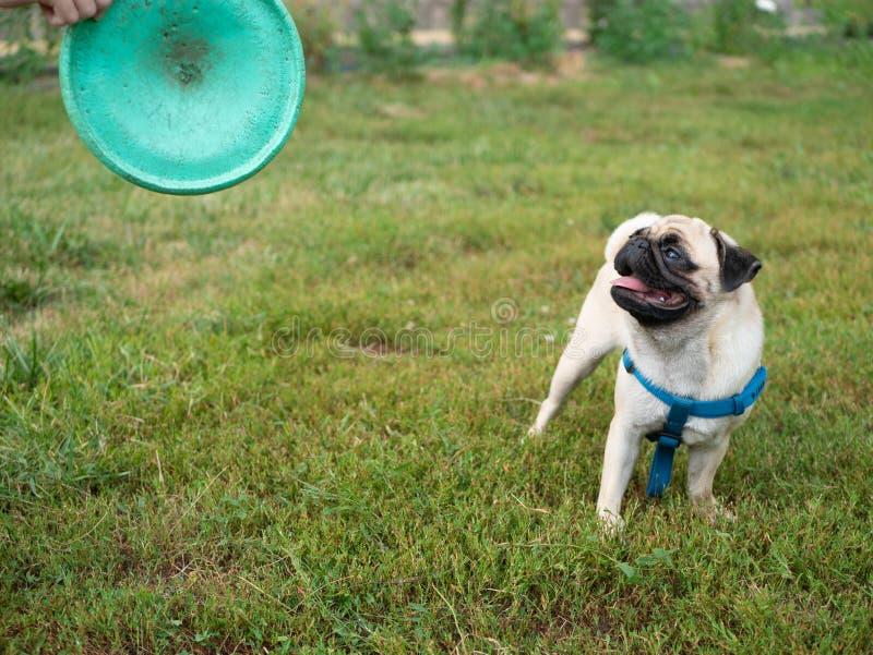 Poco perro lindo del barro amasado que juega el disco volador con el dueño fotografía de archivo libre de regalías