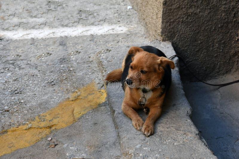 Poco perro mestizo, atado dentro de la casa, mirando la calle fotografía de archivo