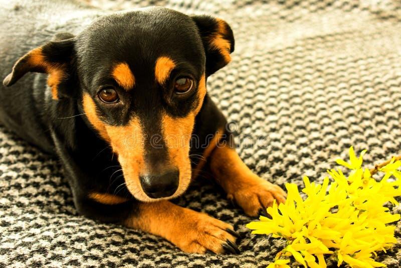 Poco perro negro con la flor amarilla del forzitsya imagen de archivo libre de regalías