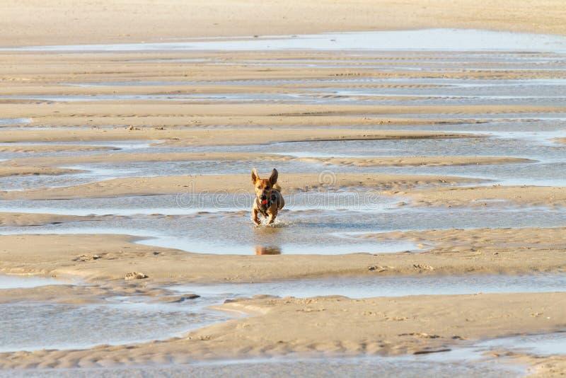 Poco perro que corre a través de los canales estrechos en la playa foto de archivo