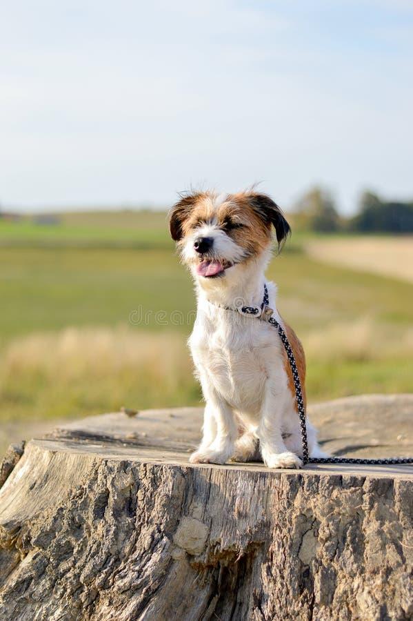 Poco perro que sonríe en un tocón de árbol fotos de archivo