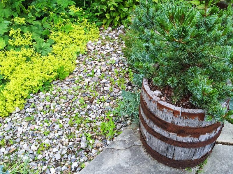 Poco pino che cresce in un vaso di legno fotografie stock