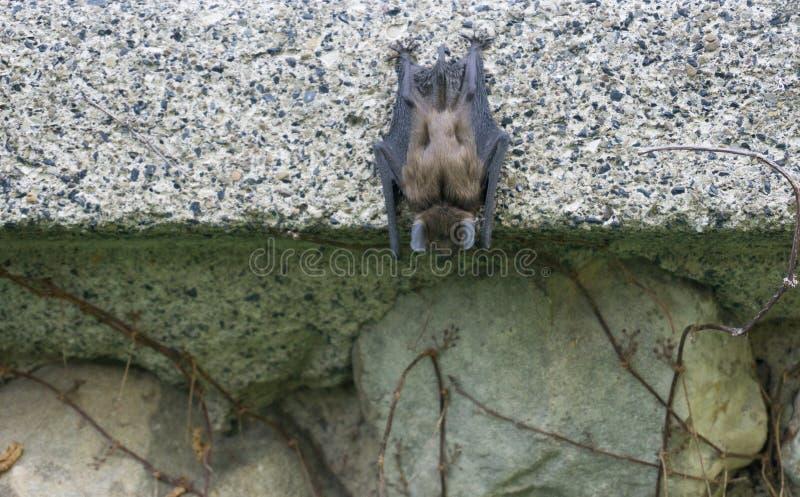 Poco pipistrello di Brown che appende sul calcestruzzo fotografia stock